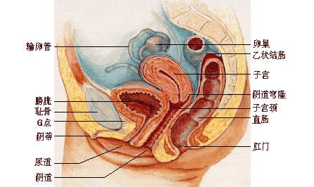 女性生理结构解剖图与分析